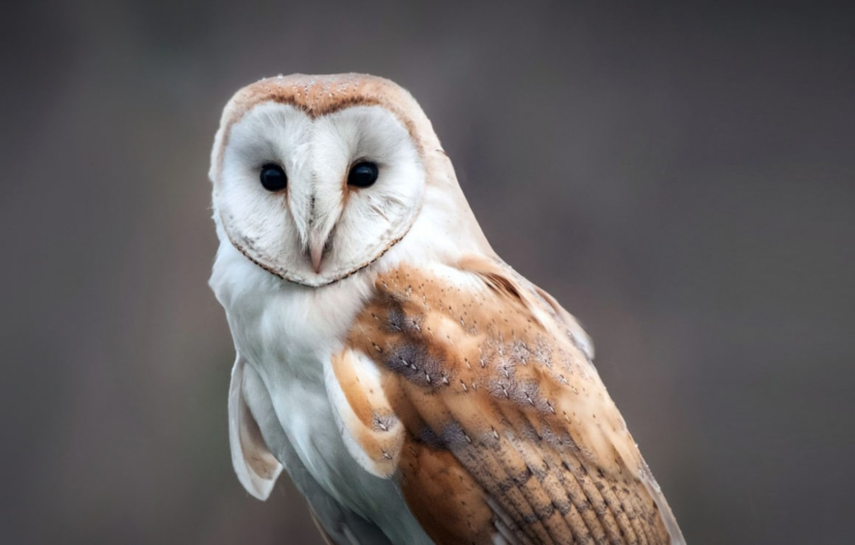 Image result for barn owls