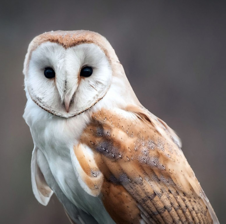 https://www.lvzoo.org/wp-content/themes/lvzoo/timthumb.php?src=https://www.lvzoo.org/wp-content/uploads/2015/11/Barn-Owl-image.jpg&w=776&h=771