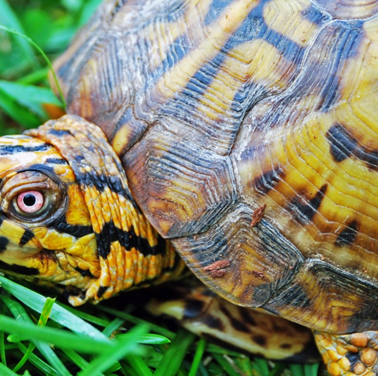 Eastern Box Turtle - Lehigh Valley Zoo