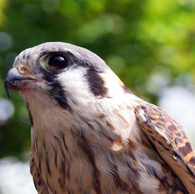 Peregrine Falcon - Lehigh Valley Zoo