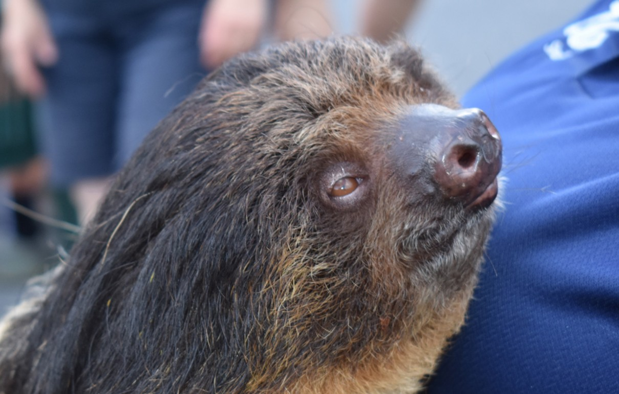 Linnaeus's Two-Toed Sloth - Lehigh Valley Zoo