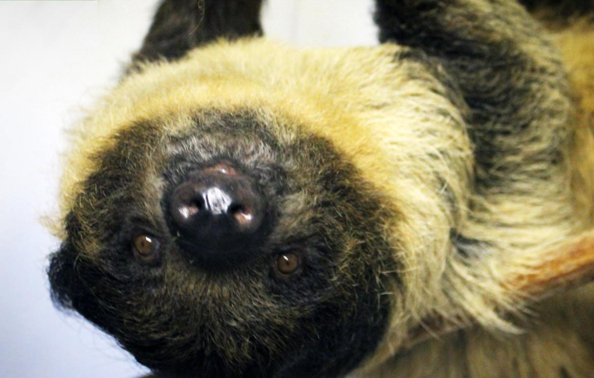 Linnaeus s Two Toed Sloth Lehigh Valley Zoo