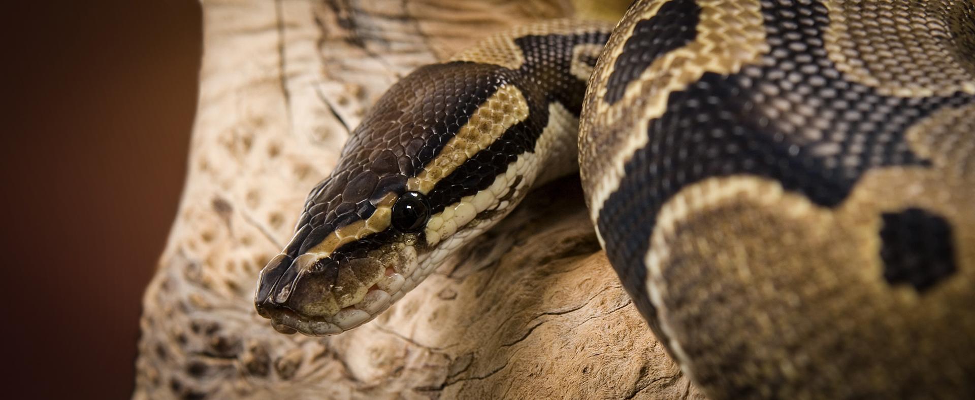 Image result for royal ball python zoo