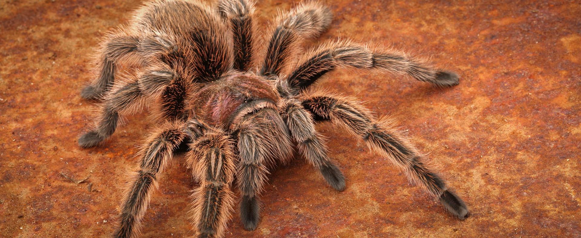 Rose hair tarantula egg sac - photo#11