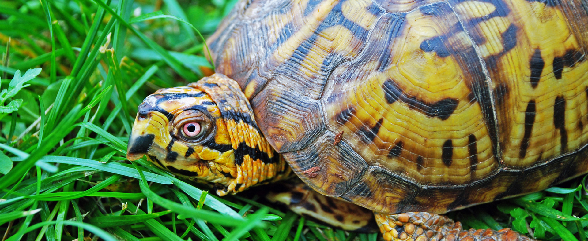 Eastern Box Turtle - Lehigh Valley Zoo