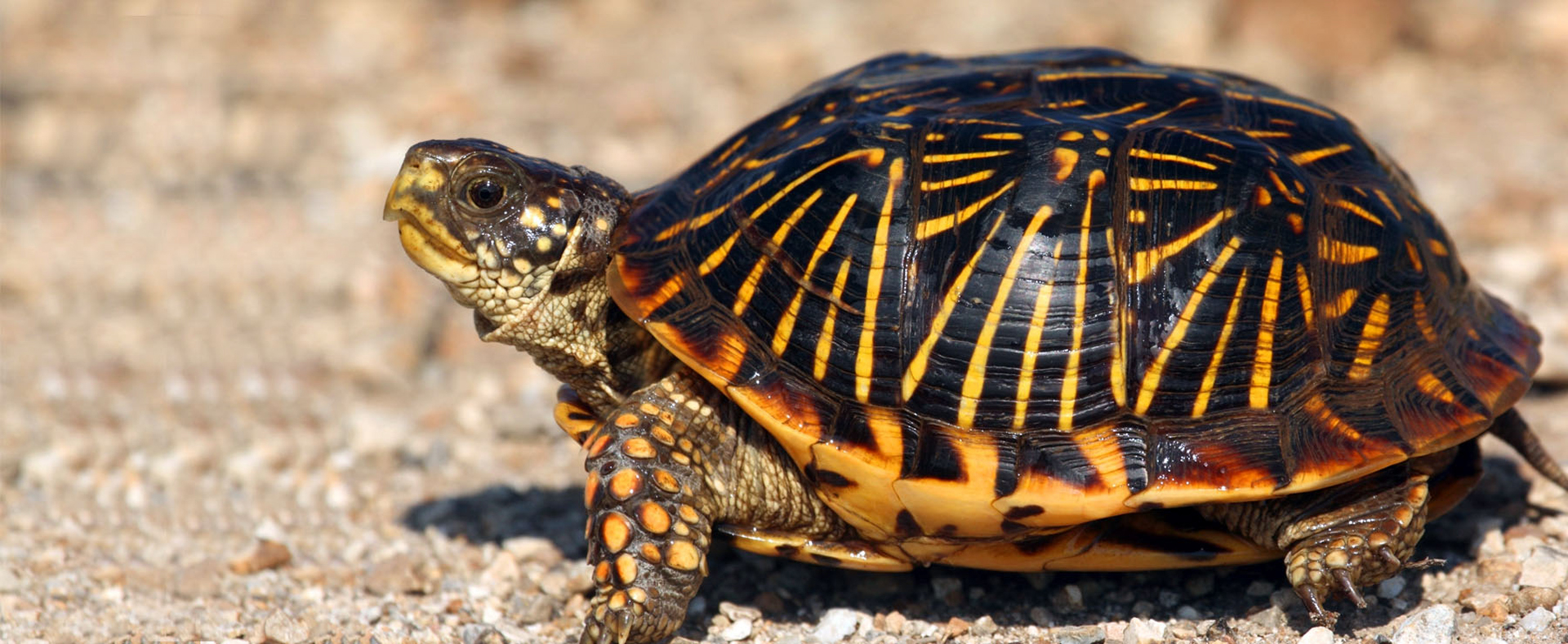 Western Box Turtle - Lehigh Valley Zoo