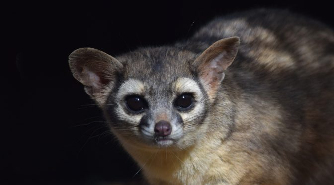 Ringtail