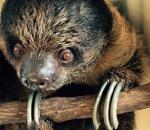 Linnaeus' Two-Toed Sloth