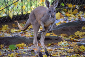 Kangaroo joey hops around its enclosure