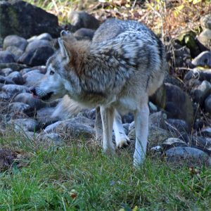 "Photo of Mexican Gray Wolf ""Omega"""